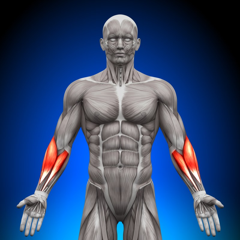 anatomy forearm muscels pump