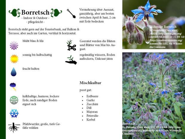 Pflanzenporträt Borretsch