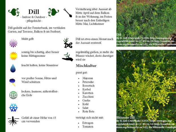 Pflanzenporträt Dill