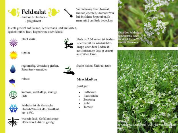 Pflanzenporträt Feldsalat