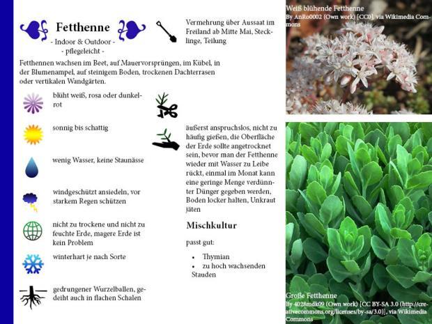 Pflanzenporträt Fetthenne