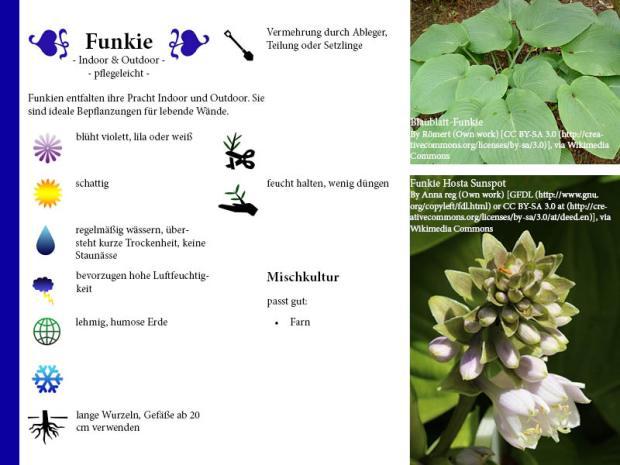 Pflanzenporträt Funkie