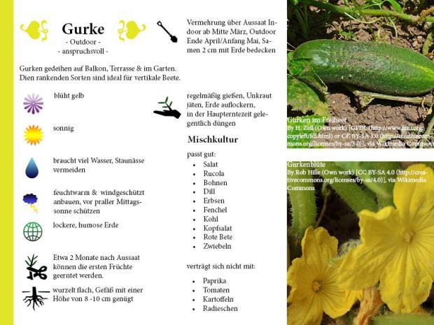 Pflanzenporträt Gurke