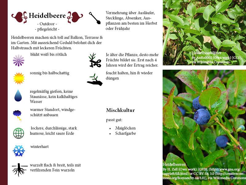 Pflanzenporträt Heidelbeere