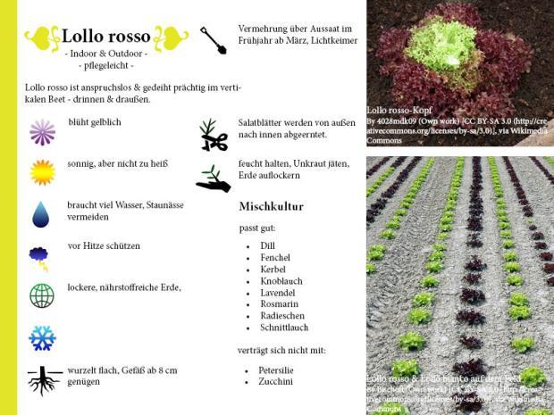Pflanzenporträt Lollo rosse