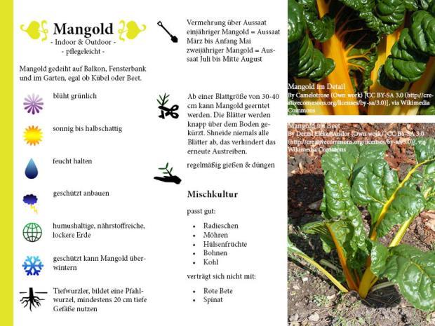 Pflanzenporträt Mangold