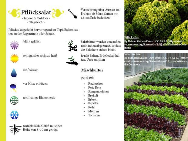 Pflanzenporträt Pflücksalat