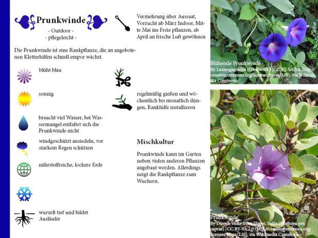 Pflanzenporträt Prunkwinde
