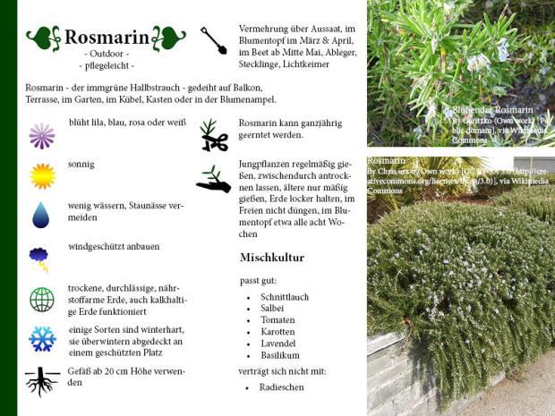 Pflanzenporträt Rosmarin