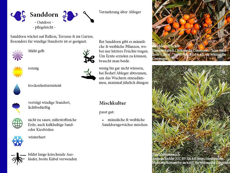 Pflanzenporträt Sanddorn