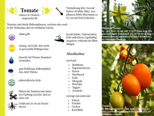 Pflanzenporträt Tomate