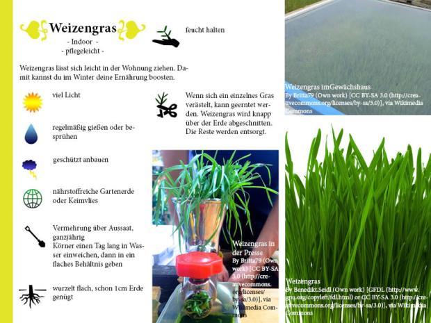 Pflanzenporträt Weizengras