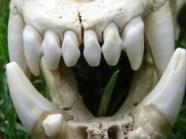 Gevaarlijke tanden