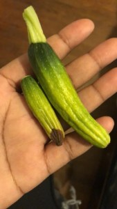 Are your squash shriveling? Find out the reasons for squash rotting on the vine and what you can do about it! The solution might be simpler than you think.
