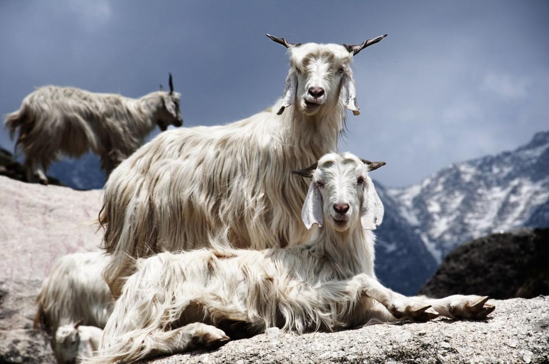 chevre cachemire laine cachemire pull homme blog mode homme