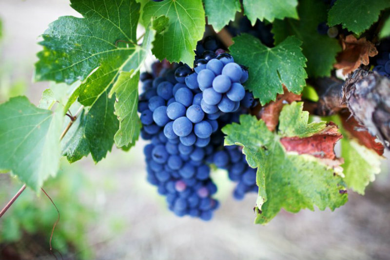 Photo de grappe prise par Take a Sip au Domaine Abbatucci