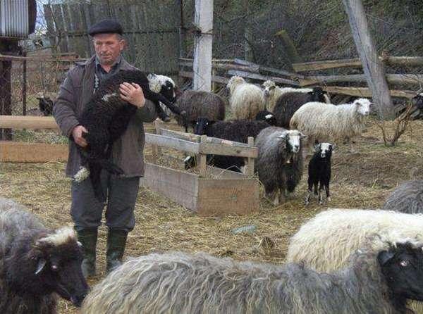 ovcevodstvo-kak-biznes-dlya-nachinayushhego-fermera-4