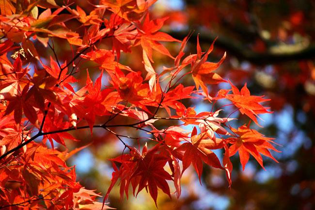 Falling Maple Leaves Wallpaper Деревья и кустарники с красной листвой