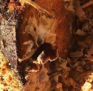 Мицелий зерновой и на палочках