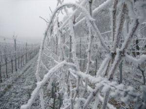 Минсельхоз подтвердил большие потери винограда и фруктов из-за заморозков