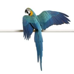 Clipping Duck Wings Diagram Digital Meter Wiring Parrot Wing Birds And Exotics Animals
