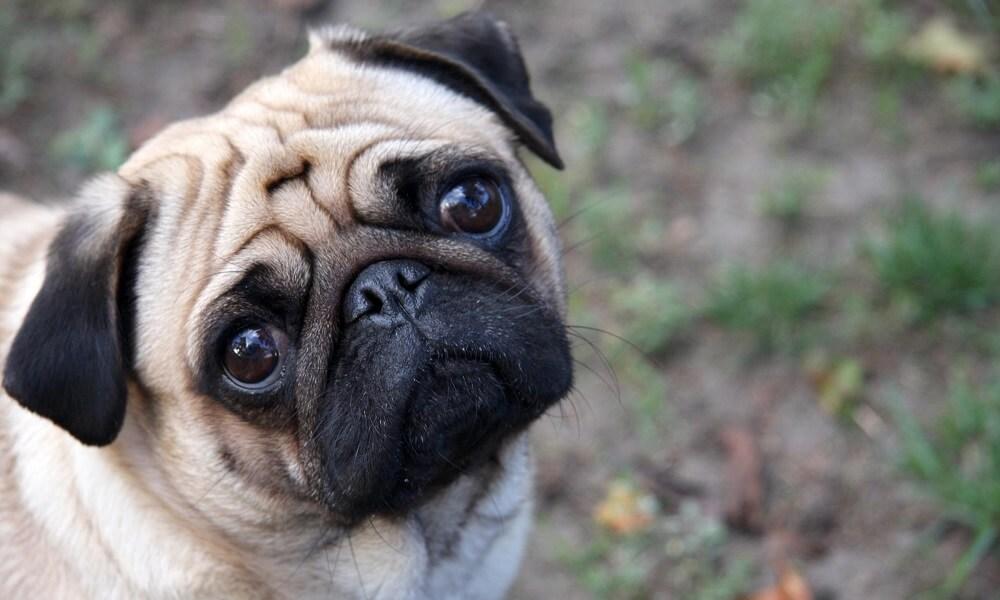Köpeklerde Brakiosefalik Havayolu Sendromu