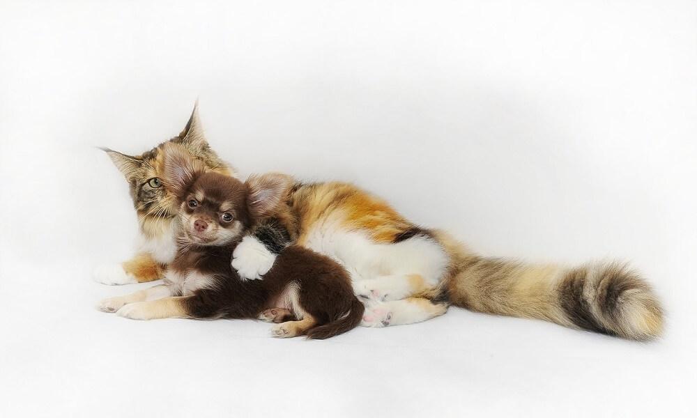 Kedi ve Köpeklerde Karaciğer Yağlanması