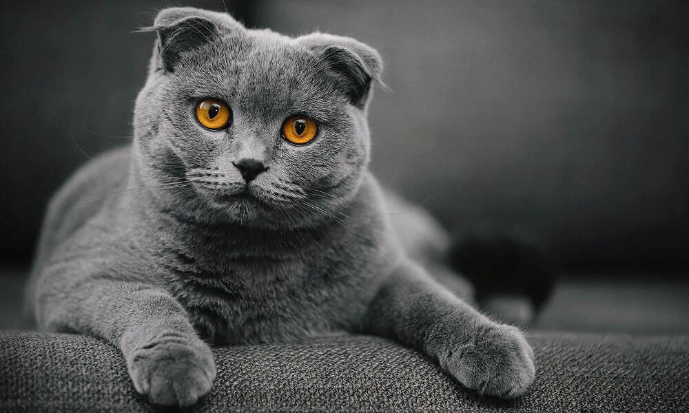 Osteochondrodysplasia ve Scottish Fold!