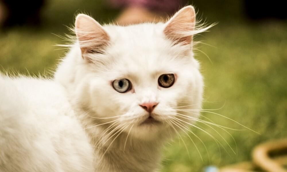 Kedi ve Köpeklerde Kök Hücre Tedavisi