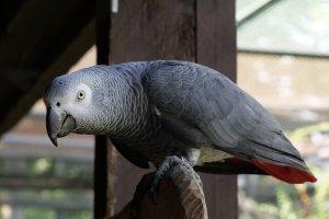 Jako Papağanı (Afrika Gri Papağan)