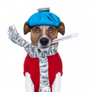 Kranker Hund (copyright - javier brosch - Fotolia)