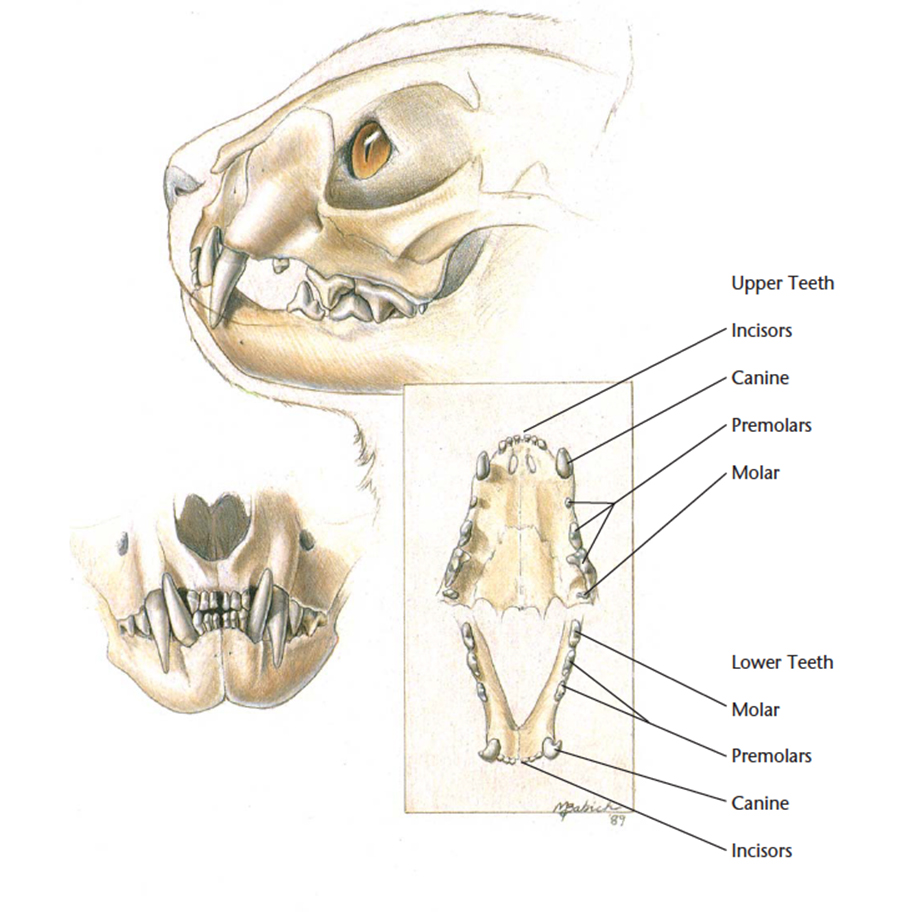 medium resolution of a cat has 30 adult teeth made up of the front incisors sharp canine teeth premolars and molars their milk teeth fall out between 5 7 months of age