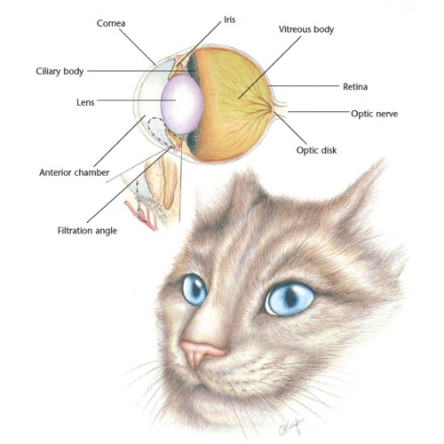 small resolution of the cat s eye is uniquely different to other mammals the cat s cornea and pupil are larger which allows them to let more light in to increase visibility