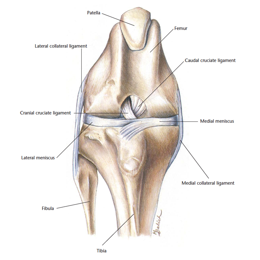 hight resolution of the stifle is the knee and the patella is the knee cap they are both positioned in the hindlimbs of the cat