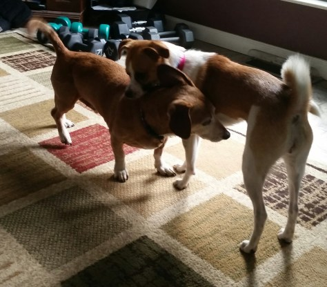 dachshund playing