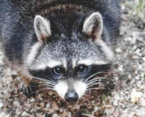 distemper raccoon