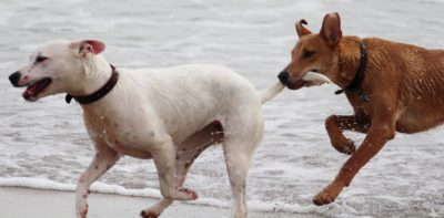 dogs playing not dominance