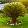 Plants Deadly For Pets Sago Palm Albuquerque Vetco