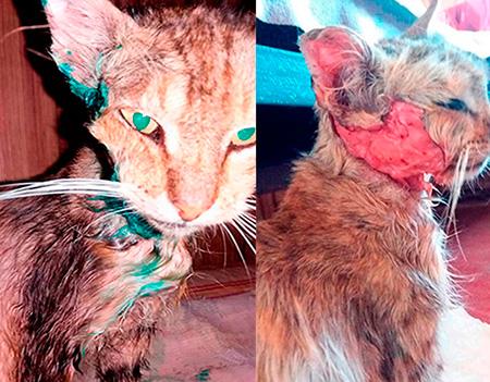 Рана у кота с гноем