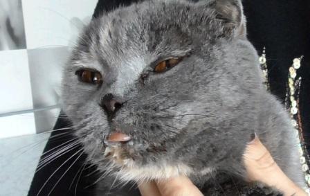 калицивироз кошек