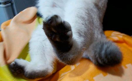 лишние пальцы у кошки