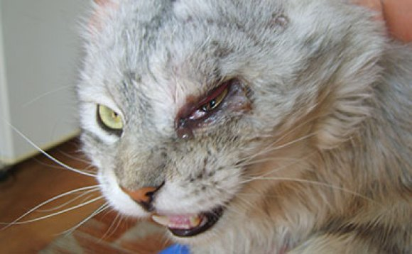У котика конъюнктивит после драки с другим котом