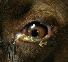 у собаки болит глаз