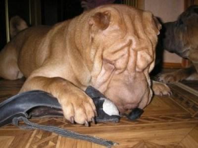 Щарпей жует туфлю