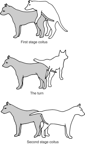 Why Do Dogs Get Stuck After They Mate : stuck, after, Breeding,, Pregnancy,, Parturition, Veterian