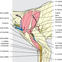 Dog Lymph Nodes Diagram Leaf Structure Unlabeled Cat: Comparative Aspects   Veterian Key