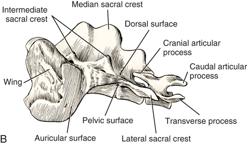 diagram of skeletal ribs 2007 chevy silverado radio wiring harness canine anatomy | veterian key