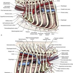 Acupressure To Induce Labor Diagram Central Heating Controls Wiring Diagrams Canine Thorax Artery - Trusted