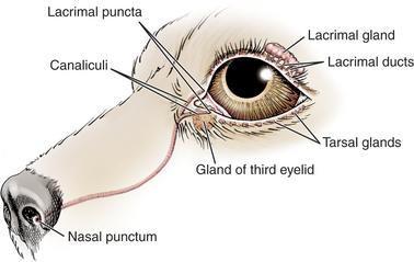 Lacrimal System | Veterian Key