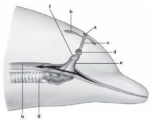 Cetaceans veterian key figure 181 upper respiratory and oesophageal anatomy of a dolphin a blowhole b nasal sacs c nasal passages paired d nasopharynx e ccuart Gallery